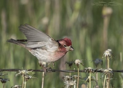 Male Cassin's Finch foraging for Dandelion seeds