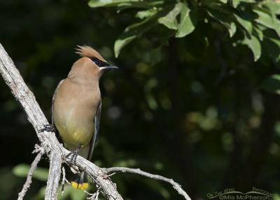 Cedar Waxwing adult perched on a bare branch