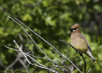 Cedar Waxwing adult in Morgan County