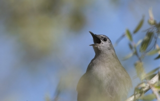 Gray Catbird singing in a stand of willows