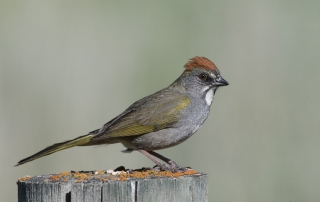 Green-tailed Towhee on a lichen topped fence post