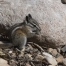 Least Chipmunk nibbling on seeds