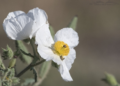 Prickly Poppies with a small bee