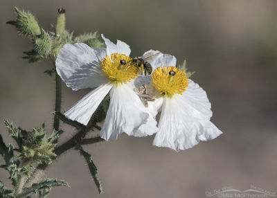 Prickly Poppies with a grasshopper and a bumble bee