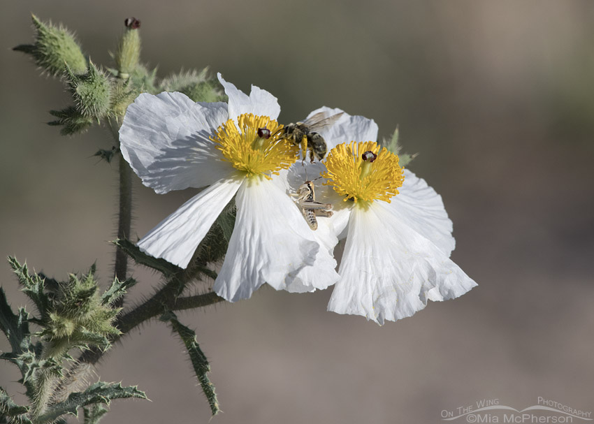 Prickly Poppies with a grasshopper and a bumblebee