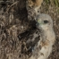 Red-tailed Hawk chick in grasses