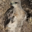 Young Red-tailed Hawk chick whose nest was destroyed by wind