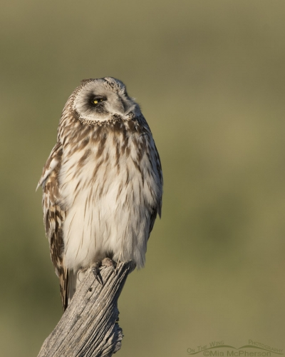 Adult male Short-eared Owl looking up