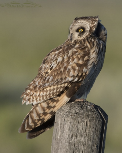 Wind blown Short-eared Owl