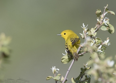Yellow Warbler about to take flight