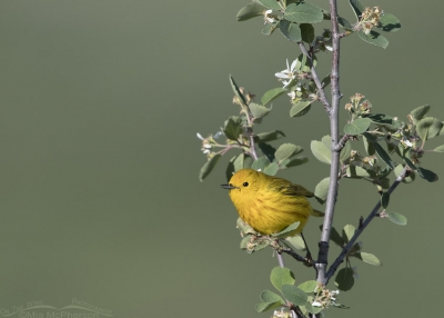Male Yellow Warbler on a flowering shrub