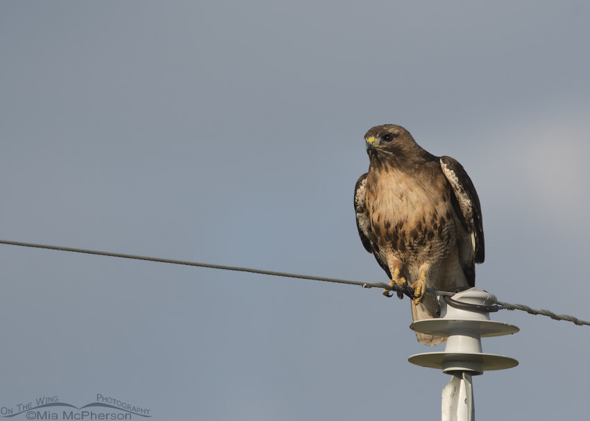 Red-tailed Hawk balancing on a wire