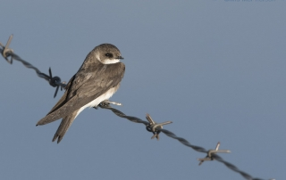 Perched Bank Swallow