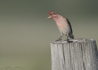 Male Cassin's Finch with his head tilted