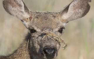 Mule Deer doe with spiderwebs and a spider on her face