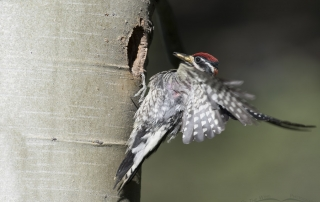 Red-naped Sapsucker landing at the nesting cavity with prey