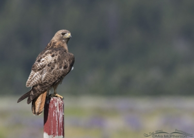 Red-tailed Hawk adult on a fence post painted red