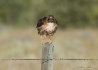 Post-poop look from a Red-tailed Hawk