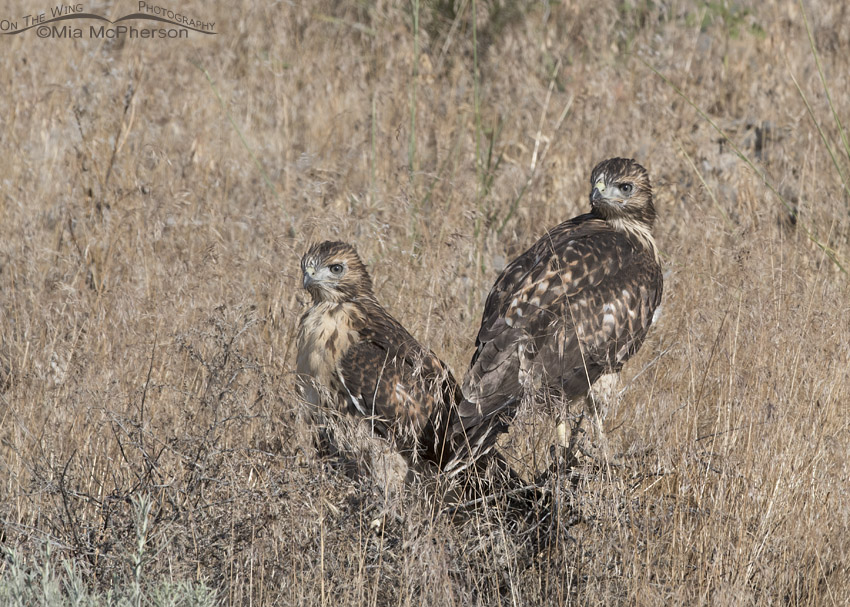 Fledgling Red-tailed Hawk siblings on the ground