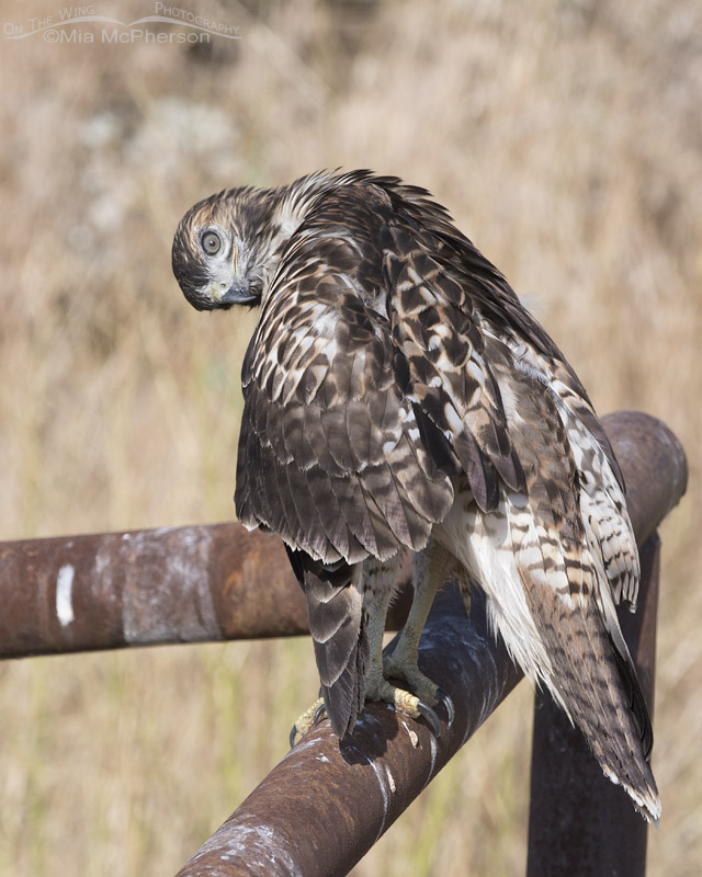 Funny look from a preening juvenile Red-tailed Hawk