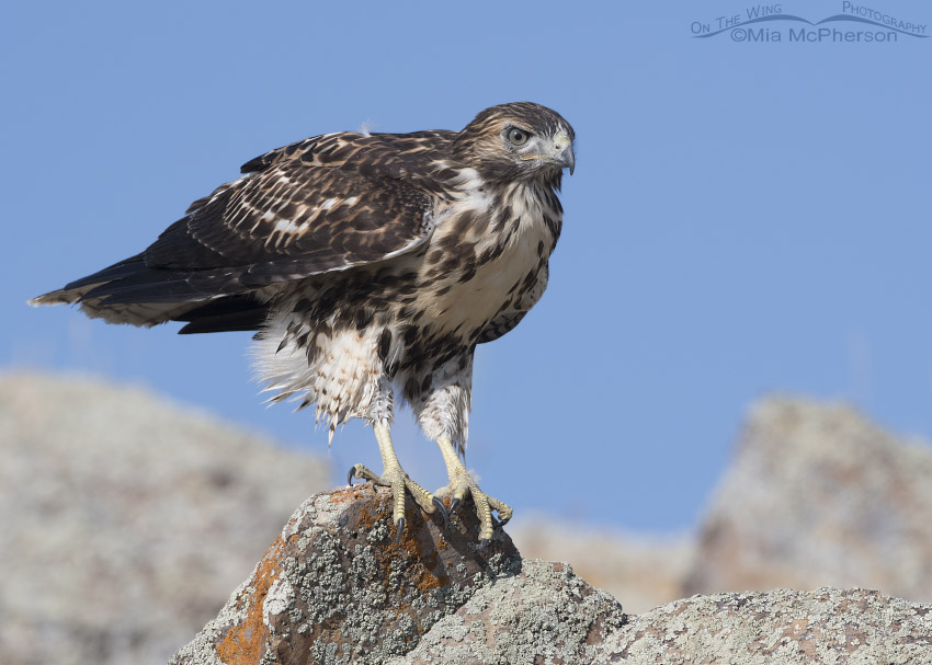 Juvenile Red-tailed Hawk perched on a lichen covered rock