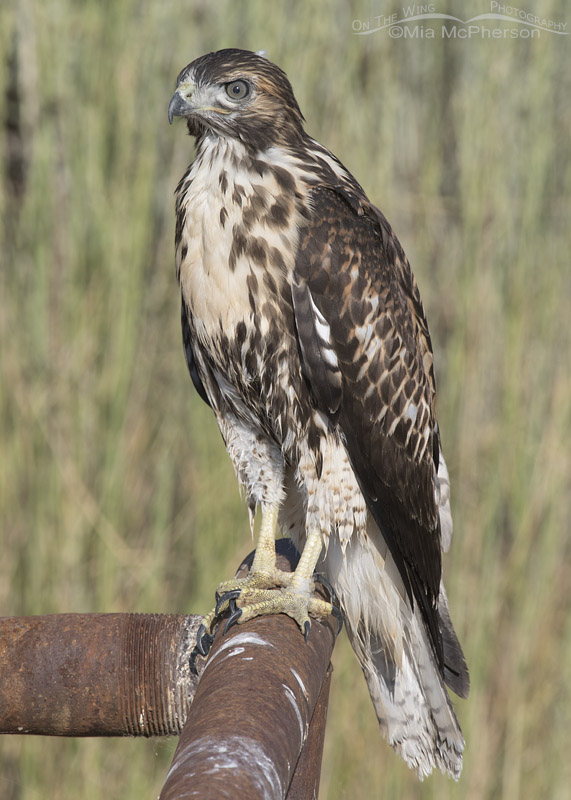 Juvenile Red-tailed Hawk on rusty metal pipes
