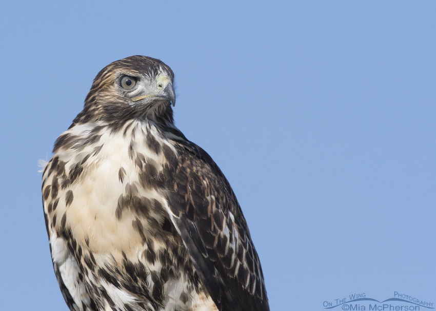 Portrait of a juvenile Red-tailed Hawk in northern Utah