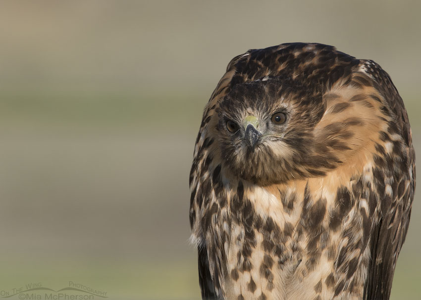 One serious looking Red-tailed Hawk juvenile