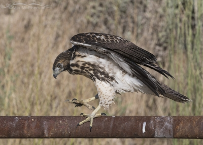 Juvenile Red-tailed Hawk walking on a rusty fence rail
