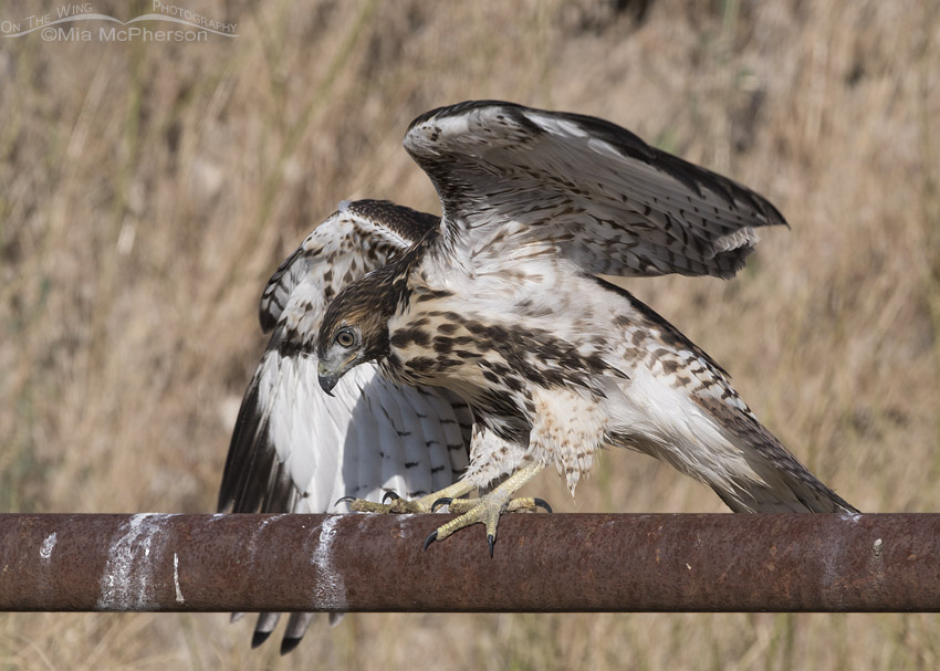 Juvenile Red-tailed Hawk having trouble with its balance