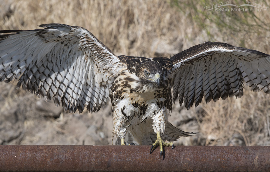 Wet and bedraggled Red-tailed Hawk juvenile