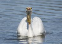 Head on American White Pelican photo