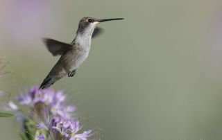 Black-chinned Hummingbird on Antelope Island