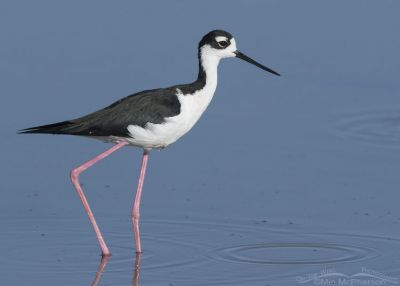 Male Black-necked Stilt keeping an eye on his offspring