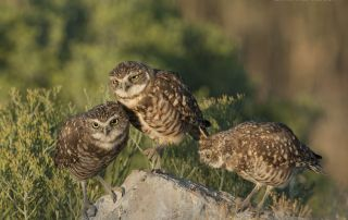 Juvenile Burrowing Owls interacting