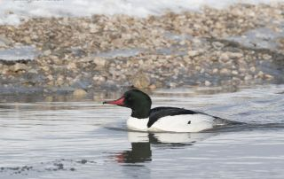 Drake Common Merganser in icy water and breeding plumage
