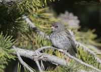 Dark-eyed Junco juvenile perched in a conifer