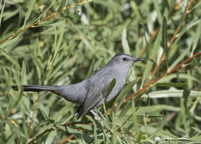 Gray Catbird in a willow thicket