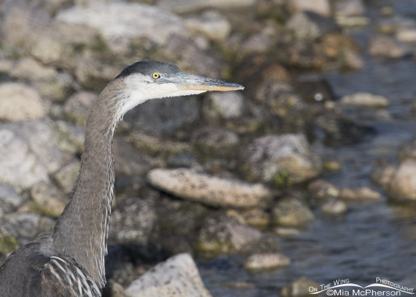 Immature Great Blue Heron on the shore of the Great Salt Lake