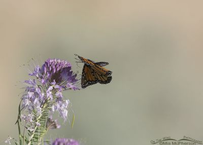 Monarch Butterfly landing on a Rocky Mountain Bee Plant