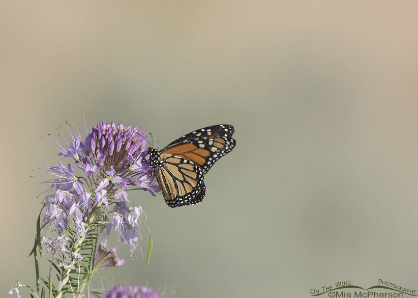 Monarch Butterfly after landing on a Rocky Mountain Bee Plant