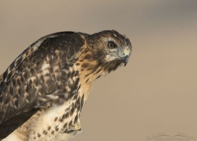 Red-tailed Hawk juvenile giving me the Eye