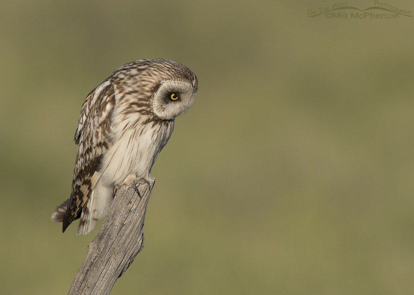 Short-eared Owl male on a old juniper fence post