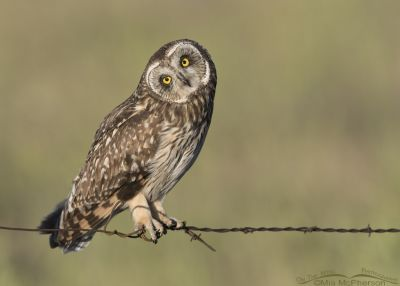 Young Short-eared Owl perched on barbed wire