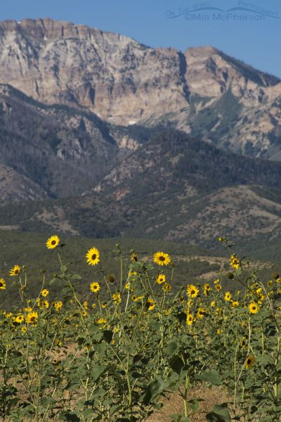 Mountains, Canyons and Sunflowers