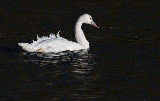 Young Trumpeter Swan glowing brightly on dark waters