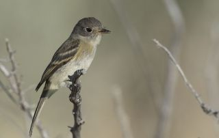 Willow Flycatcher perched on a twig