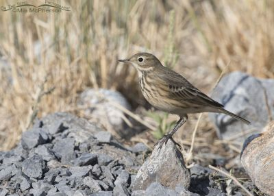 American Pipit close to the ground