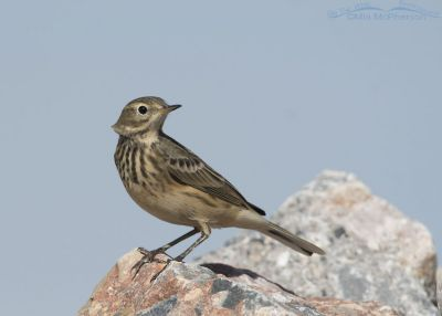 American Pipit head turn in a stiff breeze