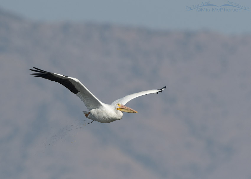 American White Pelican pooping while in flight